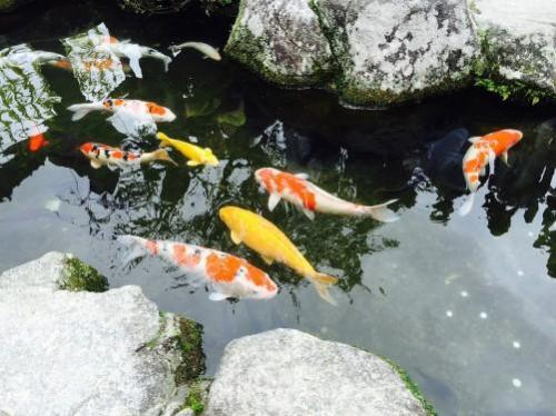 What You Need to Know about Keeping Pond Fish