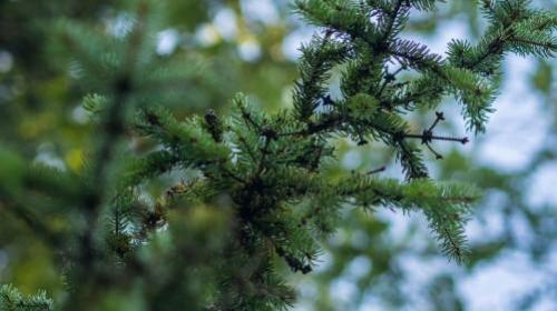 Classy Conifers for Your Garden